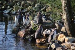 Grupo do penquin de Humbolt Fotografia de Stock Royalty Free