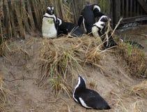 Grupo do pinguim Fotografia de Stock Royalty Free