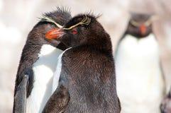 Grupo do pinguim de Rockhopper Fotografia de Stock