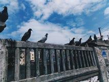 Grupo do pombo Imagens de Stock Royalty Free