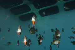 Grupo do Sunfish e do Bluegill Foto de Stock