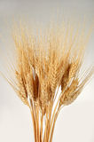 Grupo do trigo sobre um fundo do inclinação Imagem de Stock Royalty Free