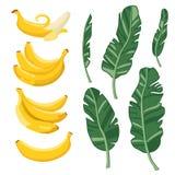 Grupo do verão do vetor com as bananas e as folhas de palmeira isoladas no fundo branco Fotos de Stock Royalty Free