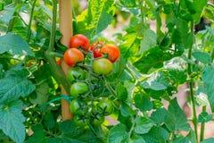 Grupo do vermelho maduro dos tomates cercado pelas folhas verdes foto de stock