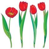 Grupo do vetor com as flores vermelhas das tulipas do esboço e as folhas do verde isoladas no branco Molde com elementos florais  Imagens de Stock