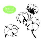 Grupo do vetor de planta de algodão Ramifique com flores Ilustração do Vetor