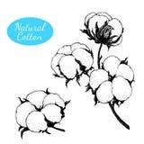 Grupo do vetor de planta de algodão tirada mão Ramifique com flores Ilustração do Vetor