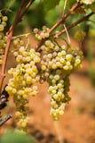 Grupo doce e saboroso da uva branca, do vinhedo em Manduria em um dia ensolarado do verão, Salento, Itália imagem de stock royalty free