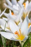 Grupo dos açafrões brancos Fotografia de Stock Royalty Free