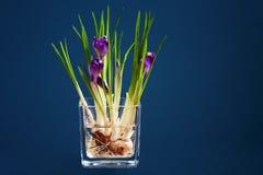 Grupo dos açafrões em um vaso transparente Fotografia de Stock