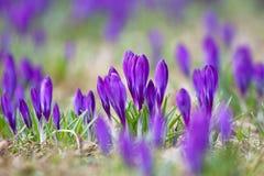 Grupo dos açafrões violetas Fotos de Stock