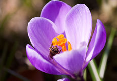 Grupo dos açafrões violetas Fotos de Stock Royalty Free