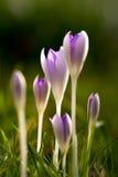 Grupo dos açafrões violetas com fundo obscuro na grama imagem de stock