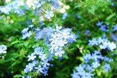 Grupo dos azul-céu de flores Imagem de Stock