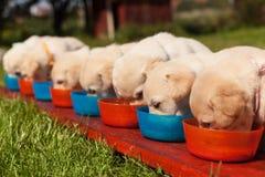 Grupo dos cachorrinhos pequenos de Labrador que comem de suas bacias arranjadas em seguido imagens de stock royalty free