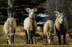 Grupo dos carneiros de Bighorn Imagens de Stock Royalty Free