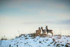 Grupo dos cervos de ovas Foto de Stock Royalty Free