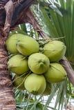 Grupo dos cocos Imagens de Stock