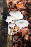 Grupo dos cogumelos brancos Fotografia de Stock Royalty Free