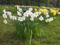 Grupo dos daffodils Foto de Stock