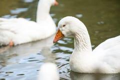 Grupo dos gansos brancos imagens de stock