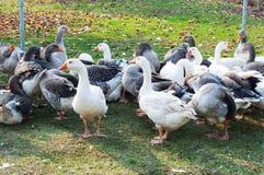 Grupo dos gansos brancos e cinzentos Imagens de Stock