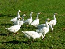 Grupo dos gansos brancos na grama verde Imagem de Stock Royalty Free
