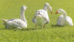 Grupo dos gansos brancos que descansam na grama Foto de Stock Royalty Free
