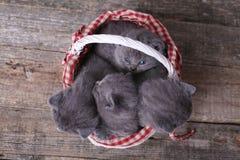 Grupo dos gatinhos em uma cesta Fotos de Stock Royalty Free