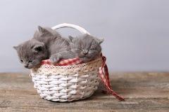 Grupo dos gatinhos em uma cesta Fotografia de Stock Royalty Free