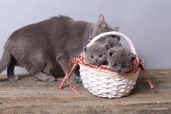 Grupo dos gatinhos em uma cesta, gato da mãe com eles Fotos de Stock