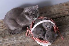 Grupo dos gatinhos em uma cesta, gato da mãe com eles Foto de Stock