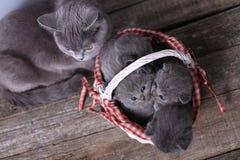 Grupo dos gatinhos em uma cesta, gato da mãe com eles Fotos de Stock Royalty Free