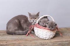 Grupo dos gatinhos em uma cesta, gato da mãe com eles Fotografia de Stock