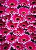 Grupo dos gerberas cor-de-rosa com bordas brancas Imagem de Stock Royalty Free