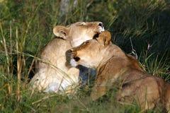 Grupo dos leões imagem de stock