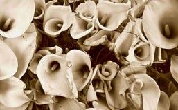 Grupo dos lillies do calla do Sepia foto de stock