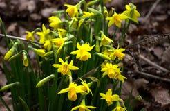 Grupo dos narcisos amarelos na mola Fotos de Stock Royalty Free