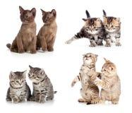 Grupo dos pares dos gatos ou dos gatinhos isolado Fotografia de Stock