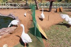 Grupo dos patos brancos perto de uma lagoa, Chennai, Tamil Nadu, Índia, o 29 de janeiro de 2017 Fotos de Stock