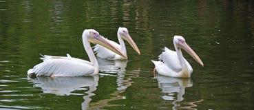 Grupo dos pelicanos brancos imagens de stock royalty free