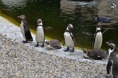Grupo dos pinguins de Humboldt Fotografia de Stock