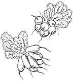 Grupo dos radishes Imagem de Stock Royalty Free