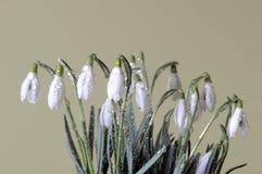 Grupo dos snowdrops Imagens de Stock
