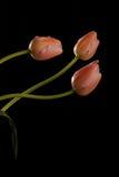 Grupo dos tulips 7 Foto de Stock