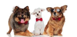 Grupo elegante de tres perros lindos con los bowties rojos imagen de archivo libre de regalías