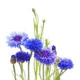 Grupo em cornflowers imagens de stock