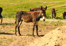 Grupo en la pradera que pasta el burro Foto de archivo