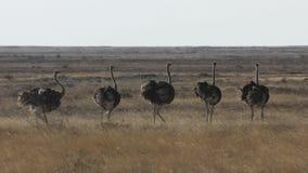 Grupo Etosha Namibia de la avestruz fotografía de archivo libre de regalías