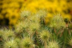 Grupo Faded Pasque Flowers no fundo amarelo com gotas da ?gua fotografia de stock